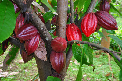 Cacao pods growing on a cacao tree.