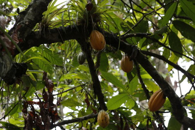 Cacao pods growing on Cacao tree.