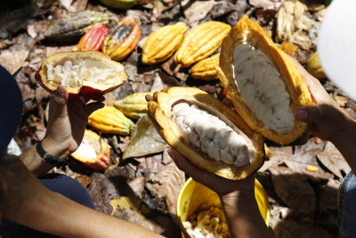 Fresh cacao pods cut open to show the cacao seeds.