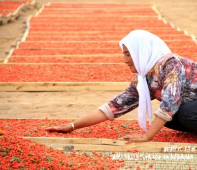 Hui woman harvests goji berries in Ningxia, Tian He/Sina blog