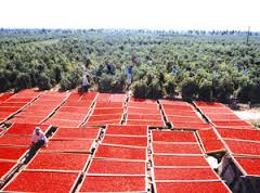 Goji berries drying near the fields of goji in Ningxia.