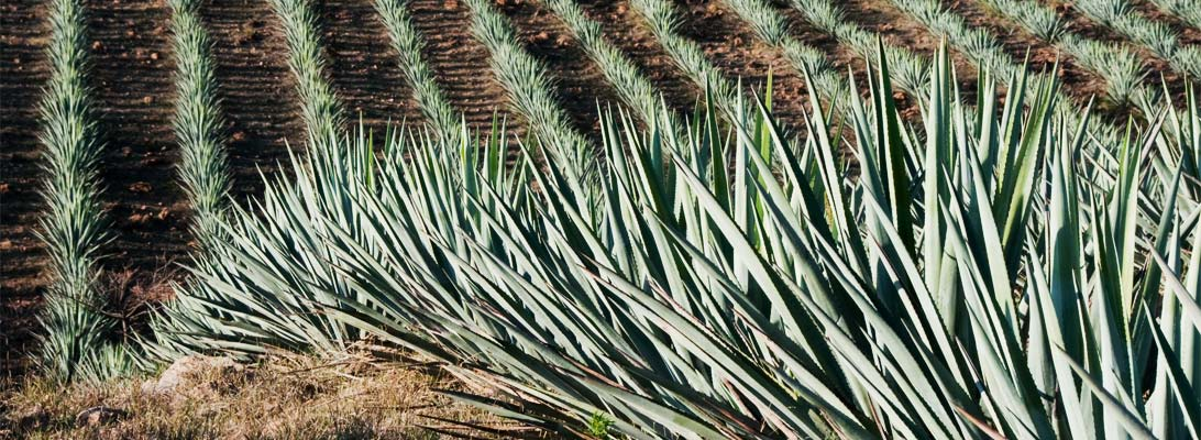 agave-featured
