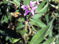 Goji Berry flower, Lycium barbarum